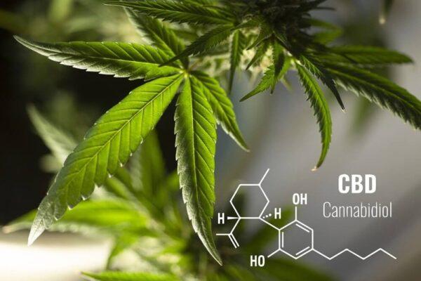 liście konopi CBD właściwości lecznicze