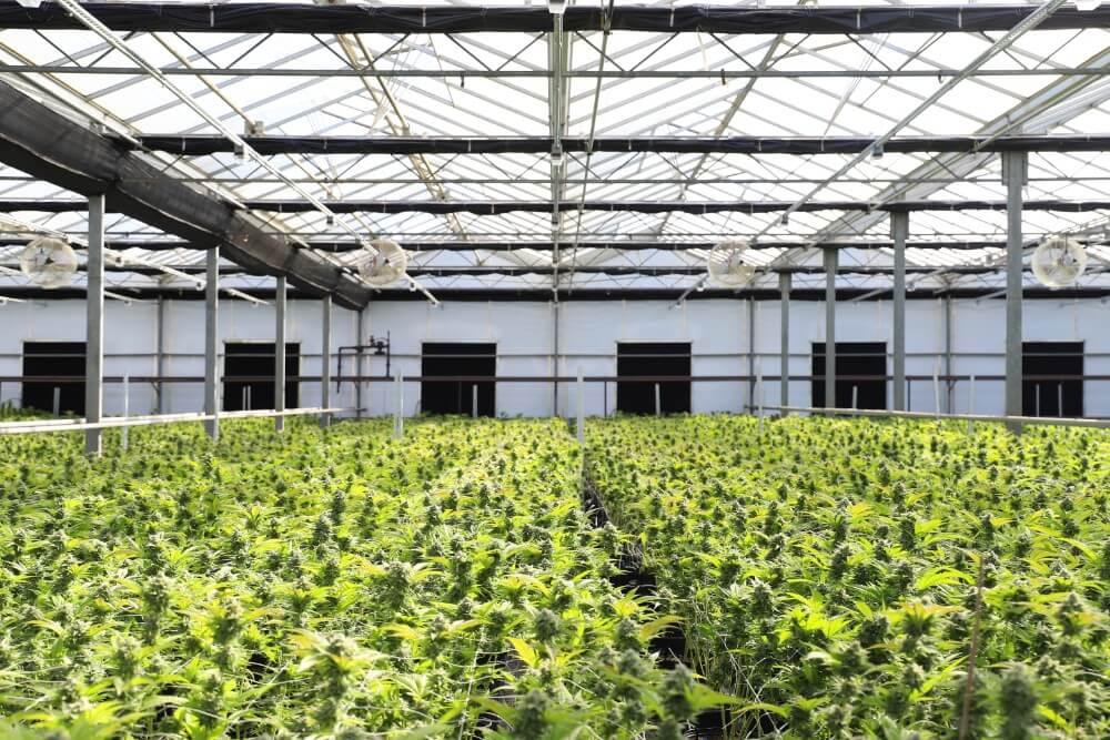 Plantacja legalnych konopi siewnych w szklarni uprawiane metodą indoor
