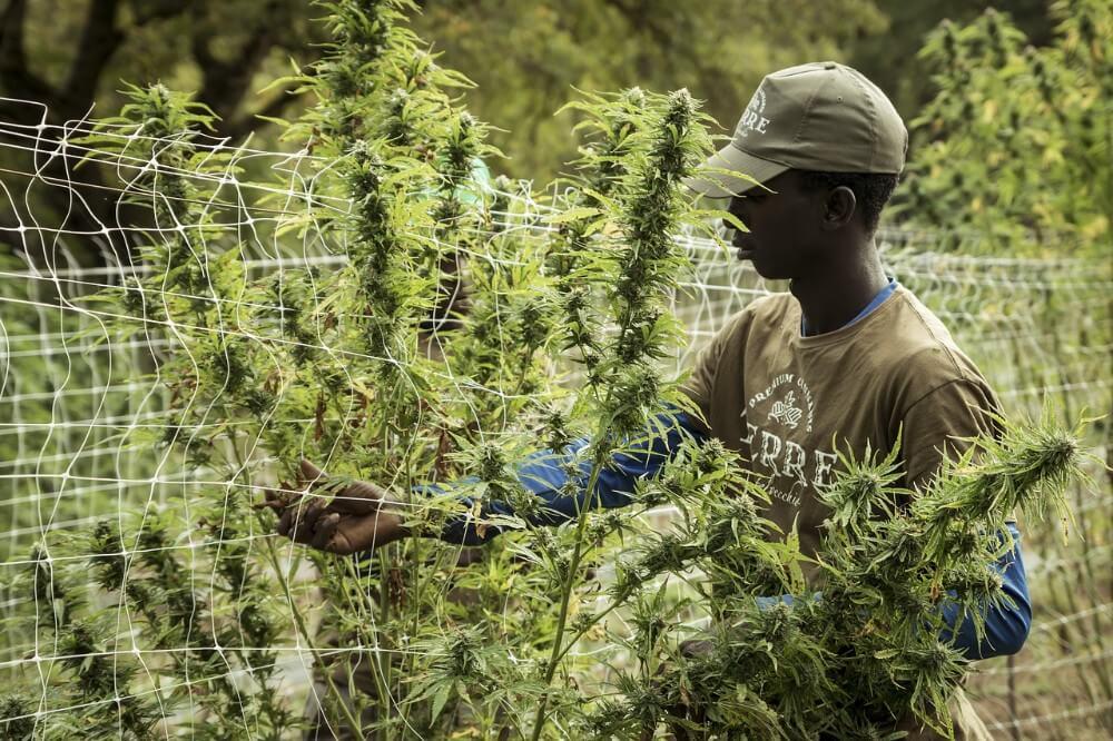 Zbieranie konopi na plantacji w Afryce